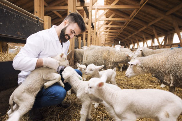 Vacancies for full-time sheep care